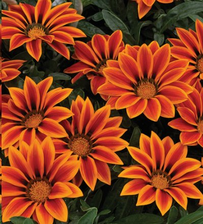 Gazania -Kiss Orange Flame