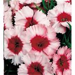 Dianthus S.Parfait Strawberry