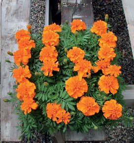 Tagetes King Orange