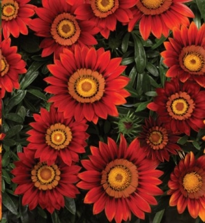 Gazania -Big Kiss Red