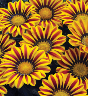 Gazania -Kiss Big Yellow Flame
