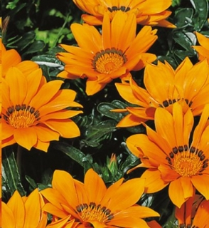 Gazania -Kiss Orange