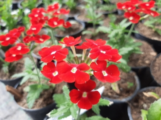 Verbena Gala Beauty Red